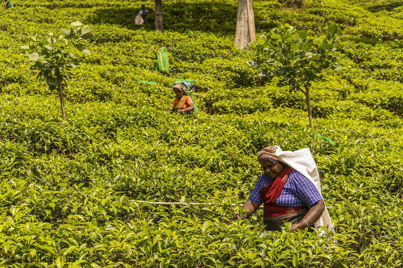 #Día 42 - Recogida del té